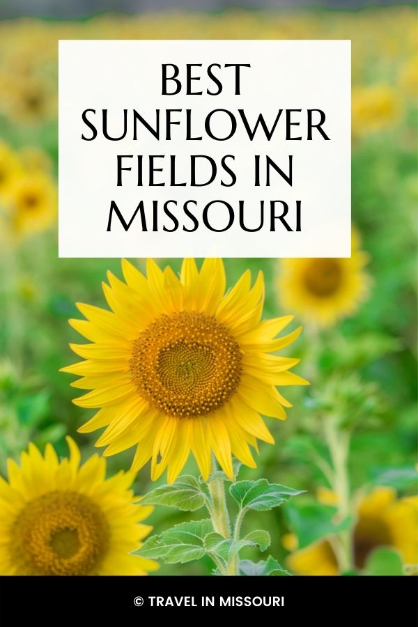 13 best festivals and events in Missouri in August. We've also included our favorite sunflower fields. The is the best list of what to do in Missouri in August!