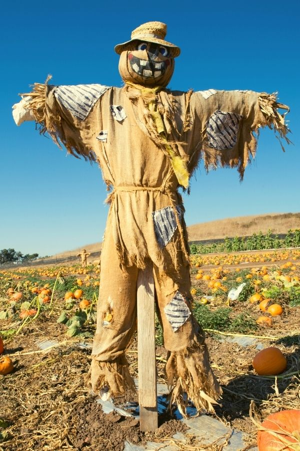 scare crow in pumpkin patch